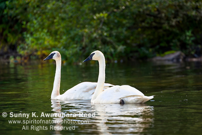 Trumpeter Swans at Robe Lake, Valdez, Southcentral Alaska, Autumn.
