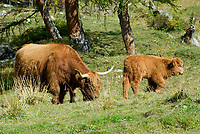 Oesterreich, Kaernten, Schottisches Hochlandrind, auch Highland oder Kyloe genannt - Muttertier und Kalb | Austria, Carinthia: Highland cattle, Kyloe - cow and calf