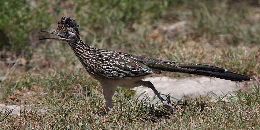 The Greater Roadrunner's particularly fond of lizards and snakes, including small rattlesnakes. To kill a snake, the road-runner circles around it. Using speed, agility, and quick leaps into the air to stay clear of the snake's fangs, the bird rushes in and stabs the snake with its pointed beak. Repeated blows stun the snake so it can be seized and slammed against the ground. The bird then pounds it repeatedly against the ground or a rock until the bones in the snake's head and body are broken or crushed.
