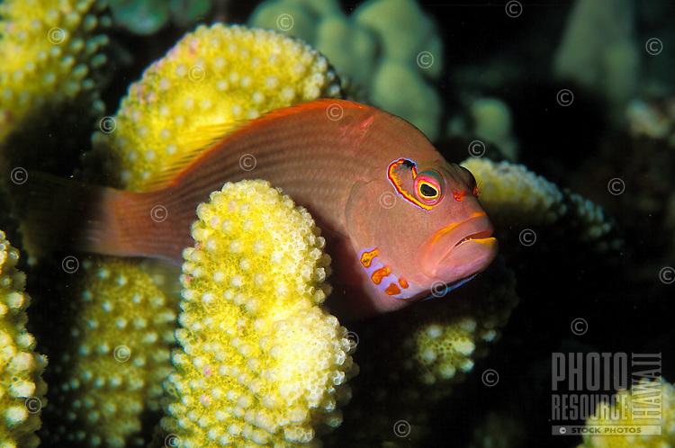 Arc-eye Hawkfish (Paracirrhites arcatus) seeks protection among Antler coral. It's hawaiian name is Piliko'a
