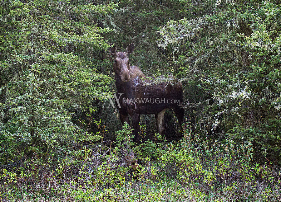 A cow moose stands guard over her calf, which is laying in the willows.