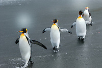 Simon says ... - King penguins with a Royal penguin bringing up the rear on the beach at Sandy Bay, Maqcquarie Island