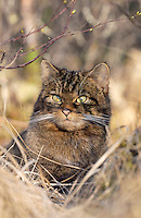 Wild Cat Felis silvestris Length 75-100cm Resembles a large, tabby domestic cat but subtle differences allow separation. Mainly nocturnal. Adult has greyish brown fur with vertical stripes along flanks and dark vertebral line on back. Tail is thick, bushy and blunt-tipped, marked with 3-5 dark and discrete bands. 'Wild-type' domestics have ill-defined flank stripes and tapering tail. Mews, purs and spits like domestic cat. Once widespread, now confined to Scotland; favours rugged moors, forest margins and lower mountain slopes.