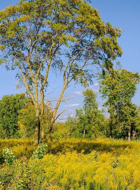 Goldenrod fills the meadow beneath the trees at Riverview Farmstead Forest Preserve, Will County, Illinois