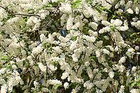 Gewöhnliche Traubenkirsche, Prunus padus, European Bird Cherry, Merisier à grappes