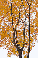A fall colored Maple tree sits against a bright overcast sky in Illinois Canyon in Starved Rock State Park, LaSalle County, Illinois