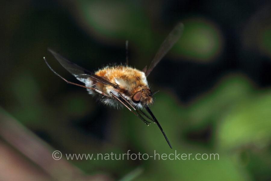 Großer Wollschweber, Hummelschweber, im Flug, fliegend, Schwirrflug, Bombylius major, Large Bee-fly, beeflies, beefly, Le grand bombyle, Bombyliidae