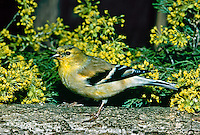 American gold finch male changing color to breeding plummage  by cornus mas blooms yellow flowering dogwood