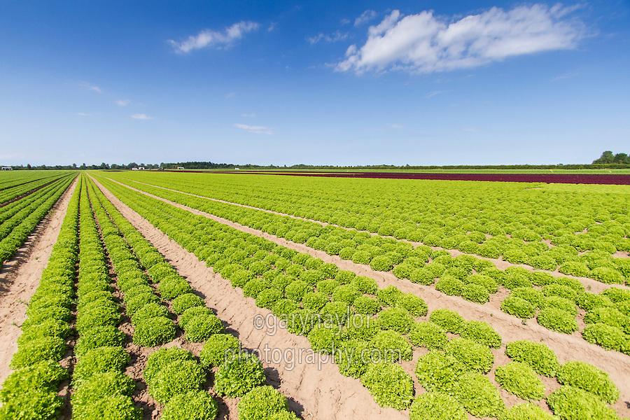 Lettuce - Lincolnshire, July