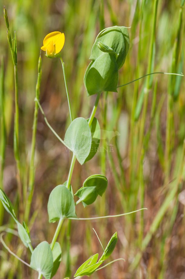 Naakte lathyrus (Lathyrus aphaca)