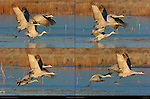 Sandhill Cranes Morning Takeoff Bosque del Apache Wildlife Refuge New Mexico Composite Image