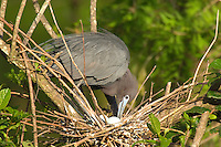 Little Blue Heron (Egretta caerulea)  turning eggs in nest.  Southeastern U.S.