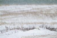 00817-00620 Gyrfalcon (Falco rusticolus) white phase Churchill Wildlife Management Area Churchill MB