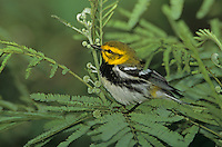 Black-throated Green Warbler, Dendroica virens,male, South Padre Island, Texas, USA