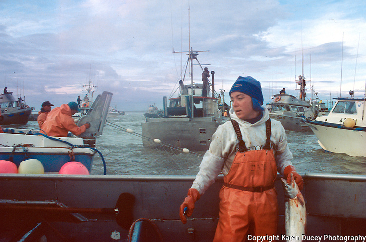 A deckhand handles a sockeye salmon after picking it out of a gillnet while fishing on the north line of the Egegik River district in Bristol Bay Alaska on July 12, 1993.  Bristol Bay is home to the world's largest sockeye salmon fishery.  The commercial salmon drift gillnet fishing fleet is limited to boats no longer than 32 feet in length.  There were over 1,800 permanent entry permits listed in 2002 which each vessel is required to have.  Typicaly boats fish with two or three deckhands.  Peak of the season is around July 4th in this fishery which lasts about a month. The rivers also get a fair amount of chum, king, and chinook salmon.  Bristol Bay is located in the southwest part of Alaska.