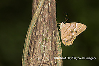 03481-00106 Southern Pearly-Eye (Enodia portlandia) Big Oak Tree State Park Mississippi County, MO
