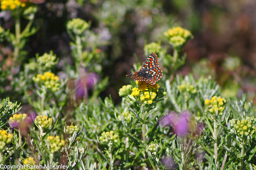 A checkerspot butterfly drinks from a yellow flower, with purple blossoms out of focus in the foreground.