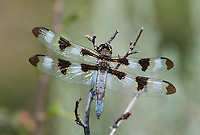 389320004 a wild male twelve-spotted skimmer libellula pulchella perches on a dead plant stem in modoc county california
