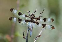 389320004 a wild male twelve-spotted skimmer libellula pulchella perches on a dead plant stem in modoc county california