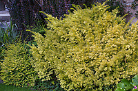 Taxus cuspidata 'Dwarf Bright Gold' with Lonicera nitida 'Twiggy' on lower left in Elisabeth Miller Botanical Garden