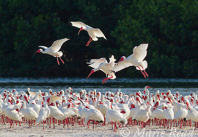 White Ibis (Eudocimus albus) in breeding plumage, backlit against dark background, flying in to join flock near their rookery, Tampa Bay, Florida, USA