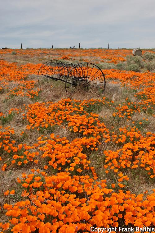 california poppies. FB-S130, 4x6 postcard