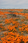 california poppies. FB-S130, 4x6 postcard