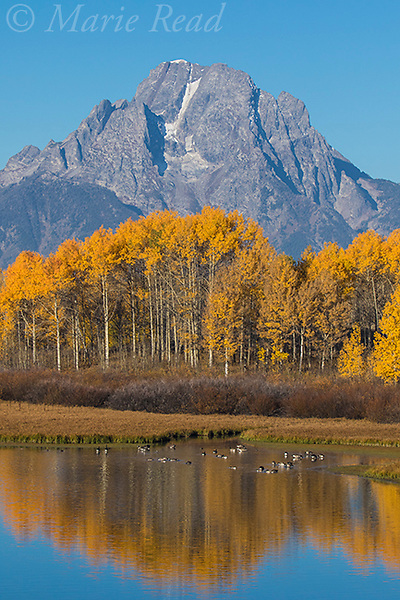 Mt. Moran, aspens along the Snake River reflected in autumn, with Canada Geese, Grand Teton National Park, Wyoming, USA
