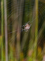 Araneus quadratus - Orb Web. This spider specialises in large insects in the field especially grasshoppers.
