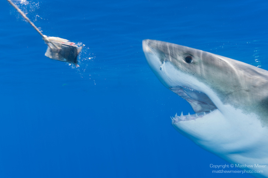 Guadalupe Island, Baja California, Mexico; an adult male Great White Shark (Carcharodon carcharias) approaches bait just below the surface, with it's mouth open