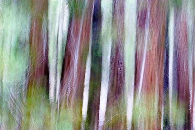 Cedars, Mariposa Grove, Yosemite National Park, California