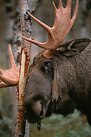 A bull elk/moose (Alces alces), in the Rapa valley, Sarek National Park, Laponia world heritage site, Lapland, Sweden. It is scrubbing off its velvet from the antlers with the help of a birch tree.