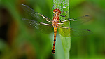 Female Ruby Meadowhawk on a grass blade in the Brickyard, Amherst, Massachusetts.