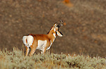 Pronghorn Male, Blacktail Plateau, Yellowstone National Park, Wyoming