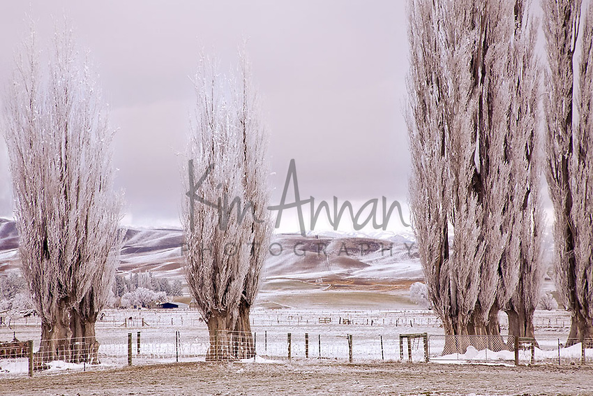 Winter Poplar Trees, hoar frost, central otago, new zealand