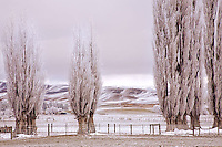 Winter Poplar Trees, hoar frost, central otago, new zealand