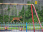 "Stockport , UK . Collect photograph of the deer in the playground , taken by "" The Hind's Head "" pub landlord , Stuart Kirkham , who named the deer Ronaldo . A wild deer which was discovered in a park by the busy Manchester Road in Stockport has been rescued after three days . The park was closed and locked by Stockport Council officials on Monday 24th June after the young male started bolting across the playing field and playground and butting its head and antlers against railings . But with the gates locked , the young animal could not escape . For three days local people came out to watch the deer from the fence as it hid in bushes around the edge of the park , occasionally venturing out across the playing pitch and in the direction of the busy A626 road . The landlord at "" The Hind's Head "" pub opposite , Stuart Kirkham , a Manchester United fan , named the beast "" Ronaldo "" because of its red colouring . After three days , with no hope of escape under its own steam and with the park still closed , the RSPCA and council brought in a veterinary surgeon to help . The animal was tranquilised and driven to nearby Reddish Vale Country Park , where he was brought round and released back in to the wild ."