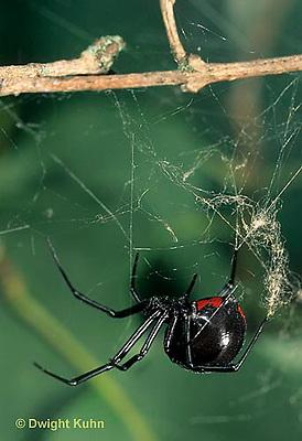 SI24-017g  Black Widow Spider female - Latrudectus mactans