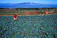 Mrs. Fujitani tending purple cabbage on her family farm in Kula, Island of Maui