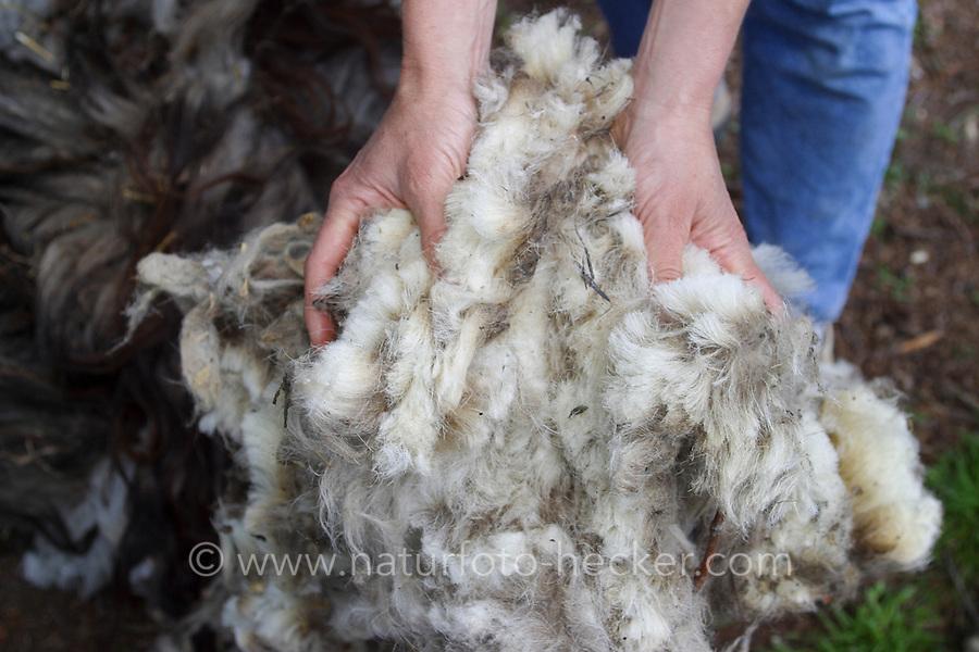 Frisch geschorene Wolle vom Schaf, Schafwolle, Schafschur, Schaf wurde geschoren, Schafe scheren, Schafscherer