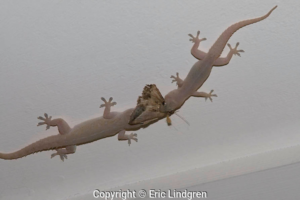 Two adult Asian House Geckoes struggle for ownership of a moth while perched upside-down on the ceiling of a suburban verandah.  //  Asian House Gecko (also known as House Gecko, Pacific House Gecko, Common House Gecko)  - Gekkonidae: Hemidactylus frenatus. Body+tail length to 15cm. Originally found in south-east Asia and North Africa, this species is now being accidentally transported around the world in commerce, and has become widespread in tropical and sub-tropical regions - in Australia frequents bushland and buildings in the northern coastal to arid habitats in the eastern states. Individuals live to 5 years, and have a distinctive repeated clacking voice lasting about 5 seconds. Food consists mainly of arthropods - insects, spiders, etc. of a suitable size. Pads on toes contain sub-microscopic hairs - about a billion per gecko - ending in suction pads allowing the gecko to walk across vertical surfaces, and upside-down. //