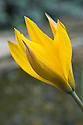 Tulipa sylvestris, early April. The wild tulip of central and northern Europe described by Linnaeus in 1753. Prior to that, it was recorded around Bologna, Italy, in the mid-1500s, reached southern Scandinavia in the mid-1700s and Britain in the late-1700s, and has been naturalized in Maryland, Massachusetts and Pennslyvania, USA.
