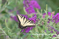 03023-03107 Eastern Tiger Swallowtail (Papilio glaucaus) on Butterfly Bush (Buddleja davidii) Marion Co. IL