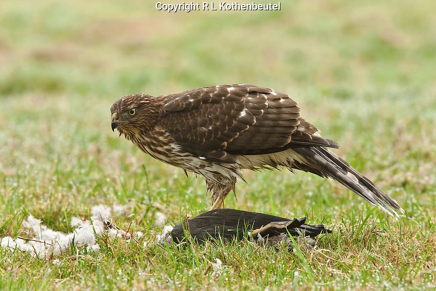Juvenile Cooper's hawk feeding on a wood duck which it had just captured and killed.<br />