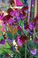 Sweetpeas Lathyrus odoratus 'Cupani' on trellis aka Matucana, purple red two toned flowers, climbing annual fragrant vine for the scented garden, old variety, heirloom antique