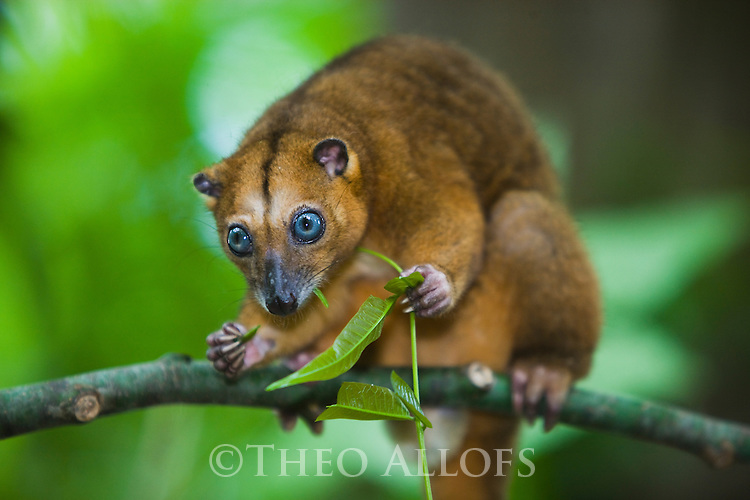 Dwarf cuscus (Strigocuscus celebensis) feeding on leaves in tree, marsupial, close-up, Indonesia, Sulawesi, vulnerable species, threatened through loss of habitat