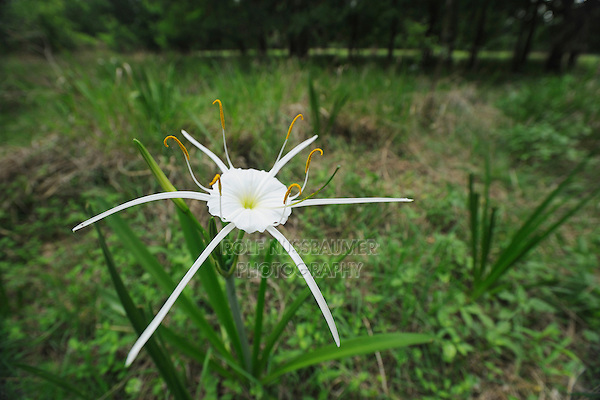 Texan Spider Lily (Hymenocallis liriosme), blooming, Fennessey Ranch, Refugio, Coastal Bend, Texas Coast, USA