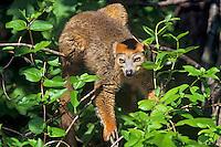 Crowned lemur (Eulemer coronatus) male, Endangered Species