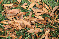 BOGOTA-COLOMBIA-ENERO 28 .Hojas de árbol secas, (Foto/VizzorImage / Felipe Caicedo / Staff). BOGOTA-COLOMBIA-JANUARY 28 . dried tree leaves   , (Photo / VizzorImage / Felipe Caicedo / Staff