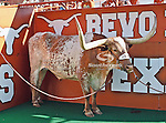 Texas Longhorns mascot, Bevo, in action during the game between the Brigham Young Cougars and the Texas Longhorns at the Darrell K Royal - Texas Memorial Stadium in Austin, Texas. Texas defeats Brigham Young 17 to 16...